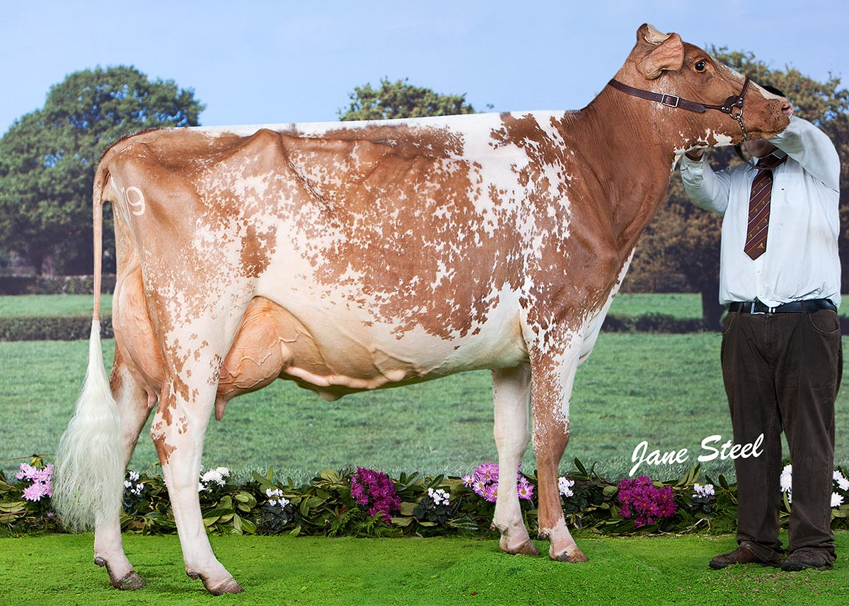 Royal Ulster Winter Fair 2014 Dairy Champion - Marleycote Princess Jill 31st